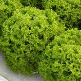 Даби семена салата листового (Enza Zaden)