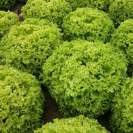 Вили семена салата листового (Enza Zaden)