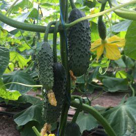 14015 F1 семена огурца партенокарп. 45 дн. 12-14см (Lark Seed)