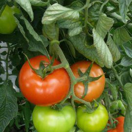 1609 F1 семена томата индет. раннего 100 дн. 200-250 грамм (Lark Seeds)