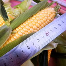 Византия F1 семена кукурузы суперсладкой Sh2 средней 78-80 дн. 24 см (Мнагор)