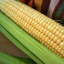 Дейнеріс F1 (Барселона F1) насіння кукурудзи суперсолодка Sh2 ультраранньої 65-68дн. 20см 18-20р. (Мнагор)
