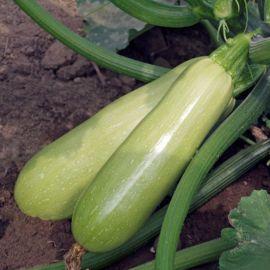 Азиад F1 семена кабачка раннего 30-35 дн. св.-зеленого (Sakata)