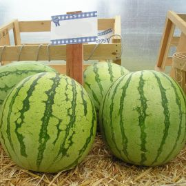 Регус F1 семена арбуза бессемянного раннего 60-70 дн. 6-7 кг окр. (Sakata)