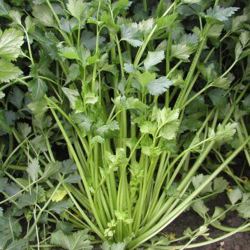 Емни семена сельдерея листового (Semo)