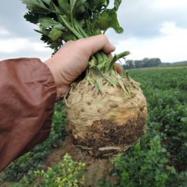 Неон семена сельдерея корневого (Semo)