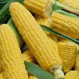 Луминокс F1 семена кукурузы суперсладкой Sh2 13-17р. (Semo)