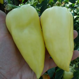 Ами семена перца сладкого тип Венгерский раннего 55-60 дн. конич. 6мм крем./красн. (Semo)