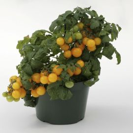 Балкони Елоу семена томата дет. черри среднераннего комнатного окр. 15-20 гр. желт. (Satimex ПН/СДБ)