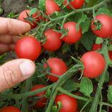 Рубинек семена томата дет. черри (Semo)