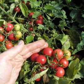 Рубинек (Минирэд) семена томата дет. черри раннего 90-100 дн. окр. 20-25 гр. (Semo)