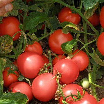 Семалус F1 семена томата дет. раннего 100-120 дн. слив. 90-110 гр. красный (Semo)