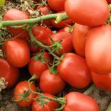 Семарол семена томата дет. (Semo)