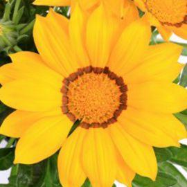 Кисс F1 желтый семена газании (Syngenta)
