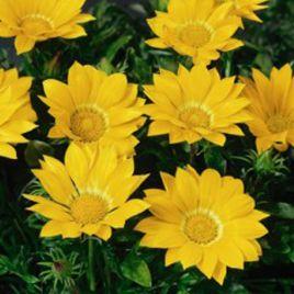 Газу F1 желтая семена газании (Syngenta)