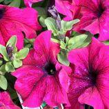 Тритуния F1 бургунди семена петунии грандифлора (Syngenta)