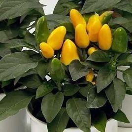 Голд Фингер семена перца декоративного (Hem Zaden)