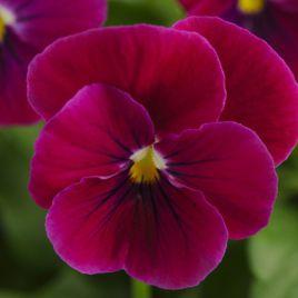 Сорбет F1 карминно-розовый семена виолы (Pan American)