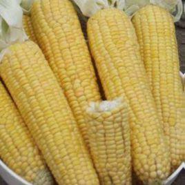Лонга F1 семена кукурузы суперсладкой среднеран. (Moravoseed)