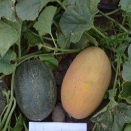 ТС 18-0450 F1 (TS 18-0450 F1) семена дыни ранней тип Ананас 2-3 кг (Solare Sementi)