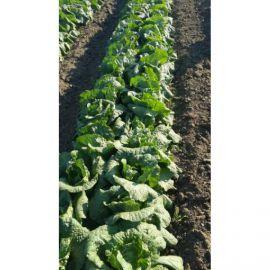 Пикалина F1 семена пекинской капусты 1,5-1,7 кг (Solare Sementi)