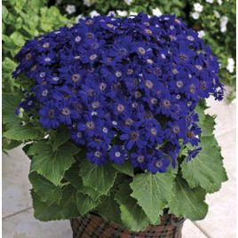Джестер F1 синий биколор семена перикаллиса (Syngenta)