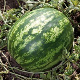 КС 165 F1 (KS 165 F1) семена арбуза тип Кримсон Свит раннего 65-70 дн. 9-11 кг окр. (Kitano Seeds)