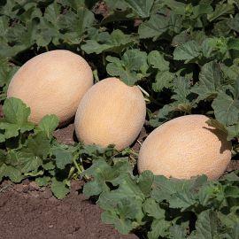 КС 6147 (KS 6147) F1 семена дыни тип Ананас ранней 65-70 дн. 2-2,5 кг ов. оран./оран. (Kitano Seeds)