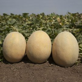 КС 6150 (KS 6150) F1 семена дыни тип Ананас ранней 60-65 дн. 2-3 кг ов. оран./оран. (Kitano Seeds)