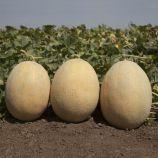 КС 6150 (KS 6150) F1 семена дыни тип Ананас 60-65 дн. 2-3 кг ов. (Kitano Seeds)