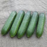 КС 260 F1 (KS 260 F1) насіння огірка партенокарп. тип Beit Alpha 17-19 см (Kitano Seeds)