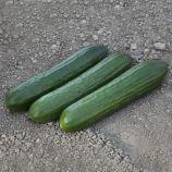 КС 930 F1 (KS 930 F1) насіння огірка партенокарп. тип Beit Alpha 19-20 см (Kitano Seeds)