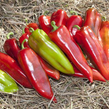 КС 2458 (KS 2458) F1 семена перца сладкого раннего тип Каппи длинноконич. 80-90 гр. 5-6 мм зел./красн. (Kitano Seeds)