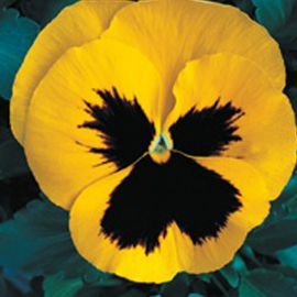 Династия Yellow Blotch семена фиалки (Kitano Seeds)