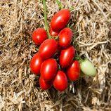 Санмино F1 семена томата дет. черри ультрараннего 60-65 дн. слив. 20-25 г. красный (Syngenta)