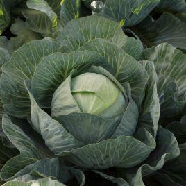 Эластор F1 семена капусты б/к среднепоздней 90-100 дней 3-3,5 кг (Syngenta)