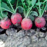 Стелар (Стеллар) семена редиса (Syngenta)