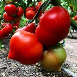 Вигго F1 семена томата полудет. раннего окр. 200-220 г (Enza Zaden)