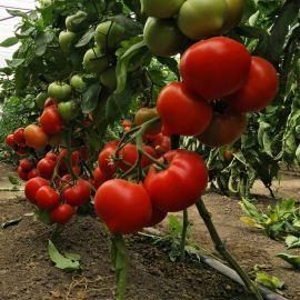 Вигго F1 семена томата полудет. с носиком раннего окр. 200-220 г (Enza Zaden)