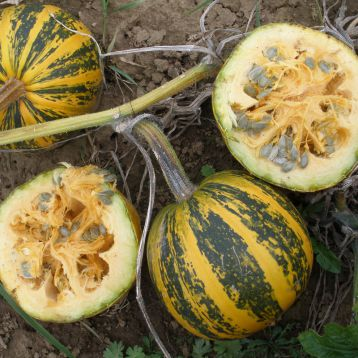 семена тыквы эсо