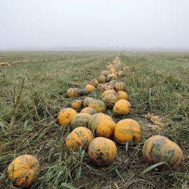 Эсо семена тыквы твердокорой голосемянной средней 110-120дн. (Semo)