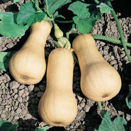 Лисция семена тыквы мускатной ультраранней 70-80дн. 3-4кг (Semo)
