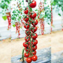 томат миноприо f1