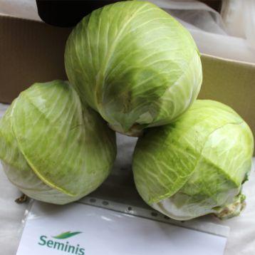 СВ 3389 ЖЛ F1 семена капусты б/к поздней 115-120 дн. 2-3 кг окр. (Seminis)