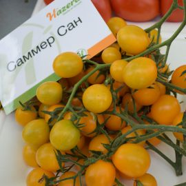 Саммер Сан F1 семена томата индет. черри раннего окр. 15-20 гр. желт. (Hazera)