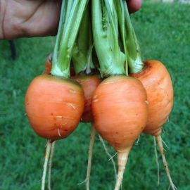 Парижский рынок семена моркови комнатной (Satimex ПН)