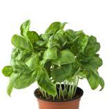 Базилик комнатный Пиколино семена (Satimex)
