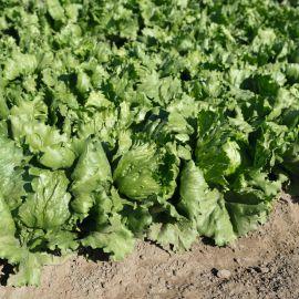 Руморс семена салата кочанного тип Айсберг 50-55 дн. зел. (Bejo)