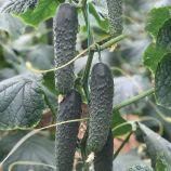 Титаник F1 (353 F1) семена огурца партенокарп. раннего 10-12 см (Yuksel)