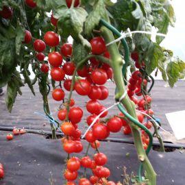 Шарман F1 семена томата индет. черри раннего 110-120 дн. окр. 15-20г (Moravoseed)